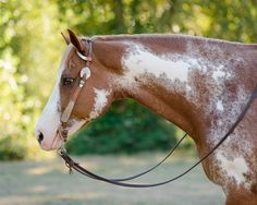 Victoria Leen – Class of 2017 – and her paint gelding Hez Reddioactive at Painted Valley Farms in Poulsbo, Washington. Barrel Racing Saddles, Barrel Racing Horses, Horse Saddles, Horse Halters, Palomino, Equine Photography, Senior Photography, Pretty Horses, Beautiful Horses