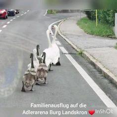 Das primäre Ziel der Greifvogel-Flugschau ist, den Menschen die Greifvögel näher zu bringen und Wissenswertes über diese wunderbaren Tiere zu vermitteln.In einer rund 40-minütigen Vorführung erleben Sie unsere frei am Himmel fliegenden Greifvögel im Aufwind der berühmten Burg Landskron in Kärnten. Bei uns sind auch tierische Besucher erlaubt und willkommen... #austria #carinthia #funny #animals #cute #gänsemarsch #carinzia #urlaubmitkindern #urlaubmithund Garden Sculpture, Outdoor Decor, Bonito, Villach, Holiday Destinations
