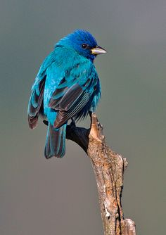 Indigo Bunting - one of the species spotted at HCC's Nalle Bunny Run Preserve