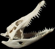 crocodile skulls - Google Search