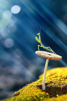 Exquisite photo of a praying mantis. Simply magical. ~ETS