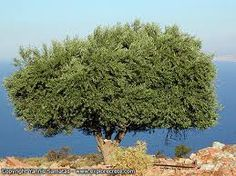 In Ancient Egypt, the odor of the olive was utilized in rituals for its ability to bring together many different peoples, beliefs and values. Prophet Noah made it a symbol of peace and unity! Tree Images, Islamic Messages, Going On Holiday, Tree Forest, Olive Tree, Growing Tree, Health Advice, Natural World, Scenery