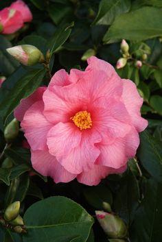 Camellia 'Contribution', a dwarf (by Camellia standards) x williamsii hybrid. Dwarf, Spring, Plants, Flowers, Planters, Dwarfism, Plant, Planting