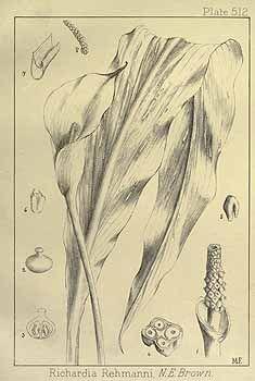 192355 Zantedeschia rehmannii Engl. [as Richardia rehmannii (Engl.) N.E. Br. ex W. Harrow]  / Wood, J.M., Evans, M.S., Natal plants, vol. 6: t. 512 (1909-1912)