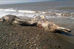 """Dolphin or Mammoth? Bizarre Creature With """"Fur and a Beak"""" Washes up Along Russian Shore 