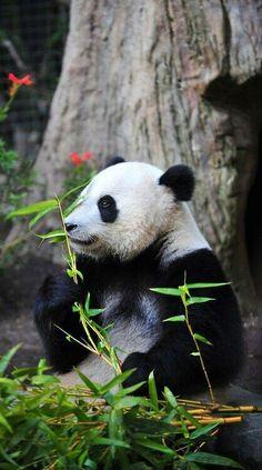 What a Gorgeous Panda!