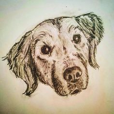 Golden retriever pet sketch - Tuli dog portrait in pencil; CVale