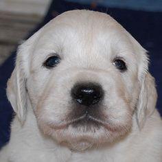 100% White Golden Retriever Puppies from White Oak Golden Retrievers.