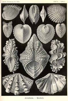 Ernst Haeckel, Kunstformen der Natur (1904), Tafel 55