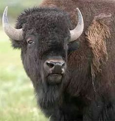 Strong Buffalo....