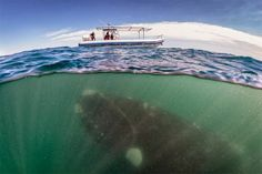 A southern right whale is seen under a whale-watching boat in Peninsula Valdez, Argentina. A group of whale watchers got more than they bargained for when a whale emerged beneath their boat. Under The Water, Under The Sea, Images Cools, Whale Watching Boat, Cool Pictures, Cool Photos, Random Pictures, Ocean Pictures, Beach Images