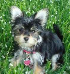 Simon, Havashire puppy for sale from Quarryville, PA