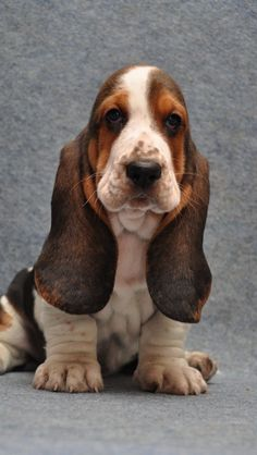 The Basset Hound is a short-legged breed of dog of the hound family, as well as one of six recognized Basset breeds in France. The Basset is a scent hound that was originally bred for the purpose of hunting hare. Basset Puppies, Hound Puppies, Basset Hound Puppy, Cute Puppies, Cute Dogs, Dogs And Puppies, Doggies, Beagles, Chien Basset