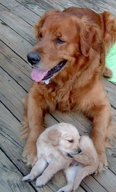 Protecting Little Golden...