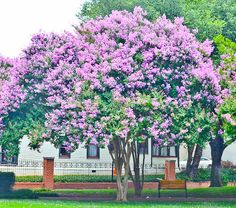 Now is the perfect time to plant your crape myrtle trees!    I am selling 6 Muskogee crape myrtle trees. Brilliant lavender blooms all spring, (Pinterest Ad)