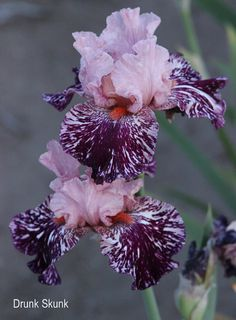 World of Irises: BROKEN COLOR IRISES - DRUNK SKUNK - WITH HYBRIDIZER BRAD KASPEREK AT ZEBRA IRIS GARDENS
