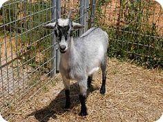 Union, MO - Goat. Meet MARGARET, a pet for adoption. http://www.adoptapet.com/pet/11375257-union-missouri-goat