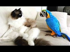 Funny Parrots Annoying Cats so funny videos Funny Birds, Cute Funny Animals, Cute Cats, Funny Cats, Funny Videos, Funny Animal Videos, Compilation Videos, Talking Parrots, Challenges Funny