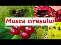 Cu ce stropim pomii / Musca cireșului!!! Nu ratati momentul!!! - YouTube Cherry, Fruit, Youtube, Plants, Avocado, Life, Lawn And Garden, Lawyer, Prunus