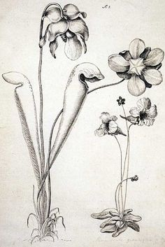 Sarracenia minor Walter and Pinguicula caerulea Walter. From the collection of the Natural History Museum, London. Pitcher Plant, Plant Drawing, Art History, History Museum, Carnivorous Plants, Native American Indians, Botanical Prints, Natural History, Botany