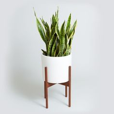 Meet the ceramic Case Study Planter in matte white with wood plant stand, potted with Sansevieria (aka, the snake plant). Now available at TheSill.com.