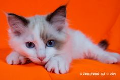 2014: Lightning A Zwollywood Cat. 13 Weeks old Ragdoll kitten, seal bicolour. Cars litter.