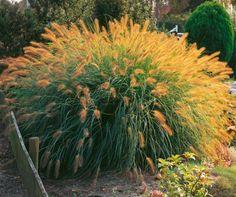 ´Vousatec´/ Pennisetum compressum. Vytrvalá, mrazuvzdorná, trsnatá tráva, vysoká cca 80 cm.