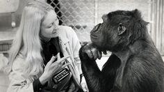 """Goril Koko'dan insanlara mesaj var: """"İnsanlar aptal, dünyayı kurtarın"""""""
