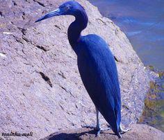 ... Tudo Roch@ ...: Animais naturalmente azuis