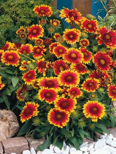 """Gaillardia Arizona Sun (Blanket Flower). 12-15"""". Early Summer to Early Fall. Hot Dry site tolerant. For front garden. 3 or more $8.93 ea."""