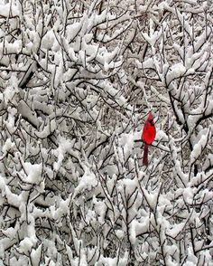 Love to see cardinals in the winter time. it's that pop of color you need amongst all the snow. Pretty Birds, Beautiful Birds, Beautiful Wall, Especie Animal, Image Beautiful, Simply Beautiful, Absolutely Stunning, Snowy Trees, Snowy Forest