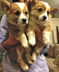 corgi puppies. I never pin animals, because I hate them for the most part... but I do like these