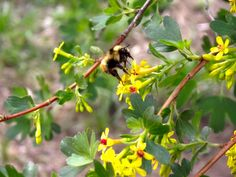 Bee on our Gooseberry bush