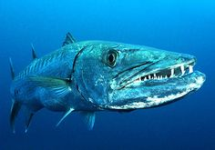 Barracuda: tiny brained, scary looking, prehistoric fish that shadow reef divers off to the side. Be very sure you have NO shiny gear... this is said to provoke attacks from these lightning fast predators. Personally, I followed the advice &  never had an incident... but they still follow... waiting...