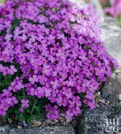 Plant+Encyclopedia:+Rock+Cress