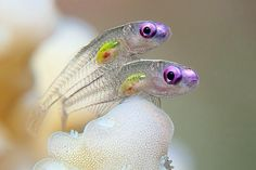Translucent Goby Fish. Two tiny gobies, neither of which is any bigger than an inch in the Red Sea near Marsa Alam, Egypt. More wonderful underwater photos