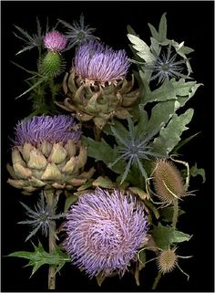 Thistle by Ellen Hoverkamp. Organic gardening scans and photography