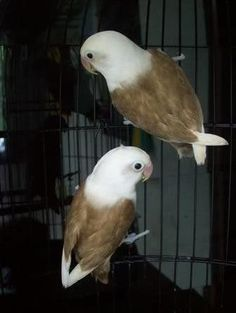 they look like miniature bald eagles!