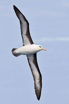 Thalassarche melanophris/Black-browed Albatross/モリモーク属マユグロアホウドリ