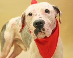 #OHIO #URGENT #SpecialNeeds ~ BRUTIS ID  40527ABC is a #RescueOnly Pit Bull Terrier Dog in #Lancaster - I was lost & they found me! Do you know me or my family ? I'm seeking a loving home & I'm available to a 501c3 #RescueOnly at FAIRFIELD COUNTY DOG SHELTER  1715 Granville Pike   #Lancaster, OH 43130  bmunsey@co.fairfield.oh.us   Ph 740-652-7180 / 614-322-5294