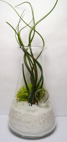 Erlenmeyer flask air plant terrarium