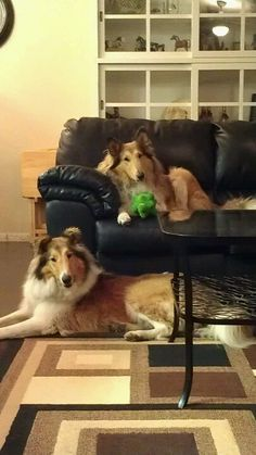 Looks like our house - Collies on the sofa :)