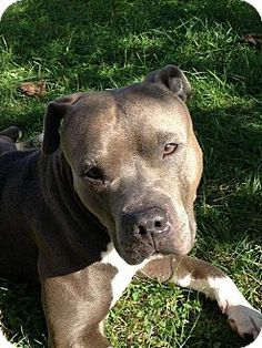 Whitestone, NY - American Staffordshire Terrier Mix. Meet LOKI, a dog for adoption. http://www.adoptapet.com/pet/10609922-whitestone-new-york-american-staffordshire-terrier-mix
