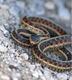 The stunning California Red-Sided Garter Snake (Thamnophis sirtalis infernalis) a subspecies of the common garter is found in coastal californian habitats.