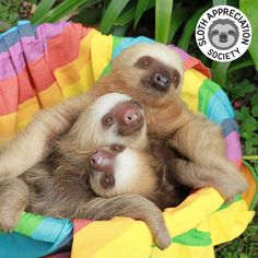 Two Toed Sloth, Sloths, Ferret, Animals, Animales, Animaux, Ferrets, Animal, Animais