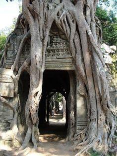 banyan over temple, cambodia