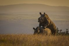 28 Reasons why South Africa should be on your Bucket List | The Planet D: Adventure Travel Blog | A rare sight…Rhinos mating on the plains of South Africa >> http://theplanetd.com/28-reasons-south-africa-bucket-list/