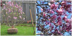 Magnolia. 10 sfaturi utile pentru plantare si ingrijire