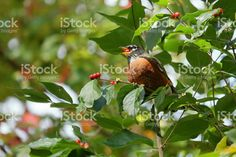 Robin Eating Honeysuckle Bush Berries royalty-free stock photo