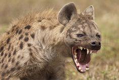 Ferocious hyena. Wow.